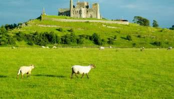 sheep crop