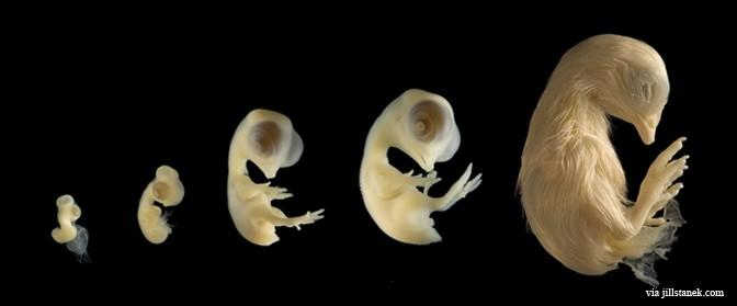 chicken-embryo-672×279 (1)