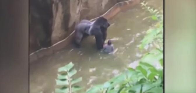 Harambe, Cincinnati Zoo