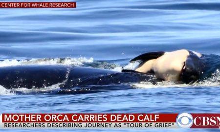 orca mother grieves dead calf