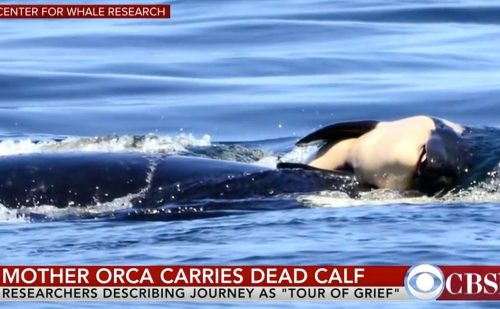 Orca mother grieves for what humans fight for the right to throw away