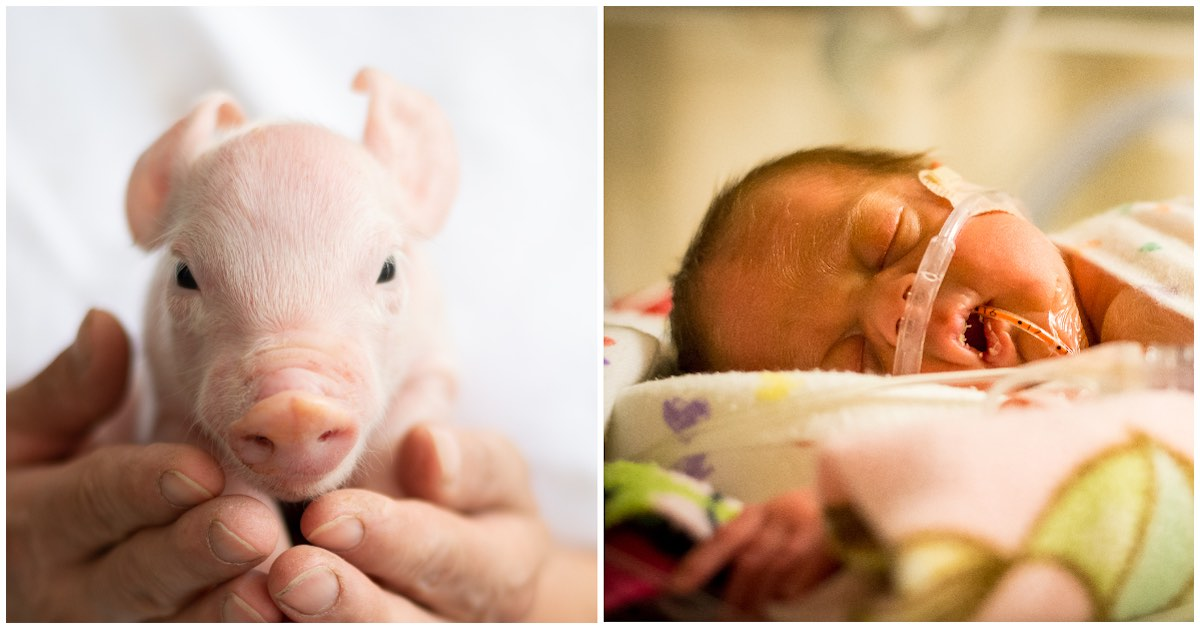 piglet and newborn getty